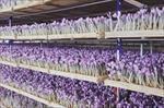 جدیدترین-و-کامل-ترین-آموزش-کشت-گلخانه-ای-زعفران-ایروپونیک-به-همراه-طرح-توجیهی-و-طرح-کارا