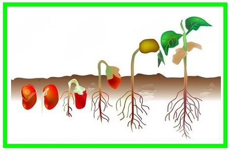 طرح جابربن حیان درباره انواع دانه ها و مراحل رشد دانه و ...